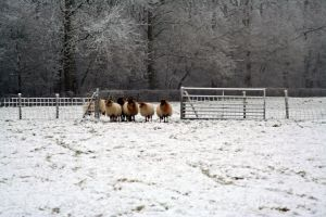 winterland with sheep by priesteres-stock