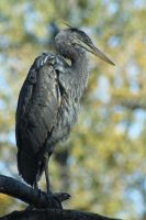 Blue Heron by sgt-slaughter