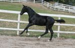 Black Warmblood Colt 014 by Notorious-Stock