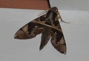 Moth 1 Sphinx moth. by jennystokes
