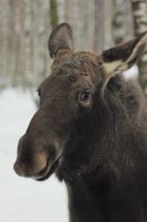 moose by TinaGrey