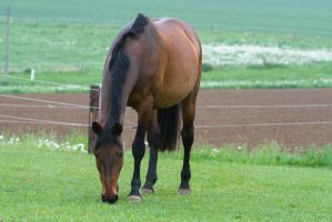 Bay Westphalian Warmblood on Pasture by LuDa-Stock