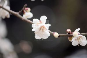 Plum Blossom Ume no hana by theblindalley