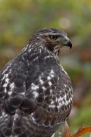 Red Tail Hawk 6 by bovey-photo