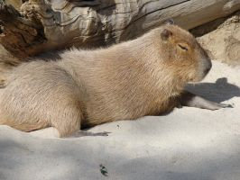 Worlds Largest Rodent by stephuhnoids