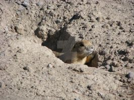 Prairie Dog - Oct 19 by Qphacs
