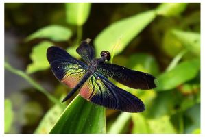 Dragonfly 15 (Greater Bluewing) by kiew1