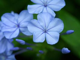 Plumbago by Nevma