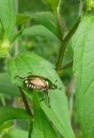 Japanese Beetle by thenameisplissken