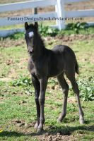 Foal-Carl 31 by FantasyDesignStock