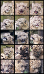 Fifteen shades of snow leopard by LadyAway