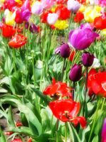 Colourful Tulips by kilkennycat