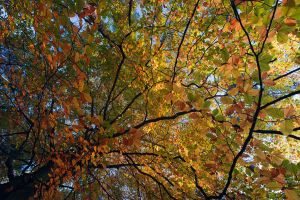beech above by mescamesh