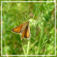 Bright Skipper by MuseSusan