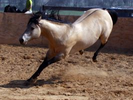Dun QH Stallion 3 by il0v3onyx