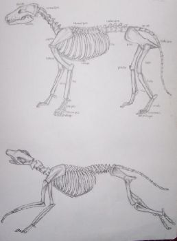 Wolf Skeletal Study by wildcrafter