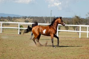 GE arab pinto from canter to trot eye closed by Chunga-Stock