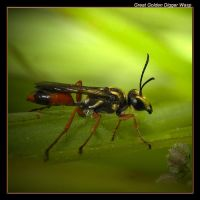 Great Golden Digger Wasp 09 by boron