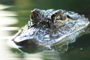 Alligator 6 by AngiWallace