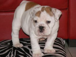 bulldog pup 2 by bevf2003