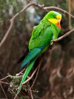 Superb Parrot by pixi3angeldreamx
