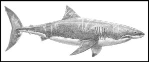 Carcharodon carcharias by dustdevil