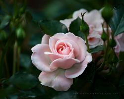 Softer Than a Rose Petal by TruemarkPhotography