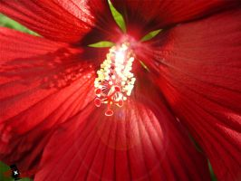 Red hibiscus by oneXsulfur