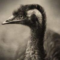 Emu Profile by astra888