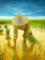 the rice field 2 by nask0