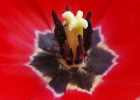 Tulip stamen 2 by Mark-Allison