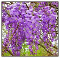 Wisteria L1010892 1 by harrietsfriend