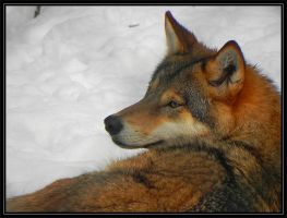 canis lupus by wiltvanc