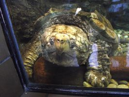 Alligator Snapping Turtle by IcejCat