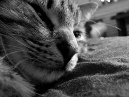 Sleepy kitty happy kitty... by Baltagalvis