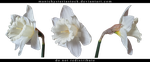 White Narcissus Cut Out 2 by ManicHysteriaStock