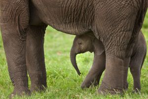 African Elephant 7 by catman-suha