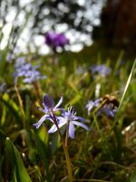 sunny blue stars (squills) by solosombra