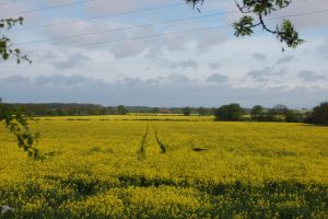 Rapeseed Field by darkmessenger84
