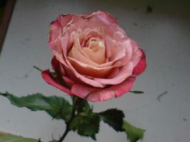 Rose4 by evilminky666