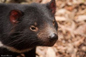 Tasmanian Devil Close-Up by DanielleMiner