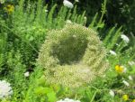 A Bowl of Queen Anne's Lace 1 by Windthin