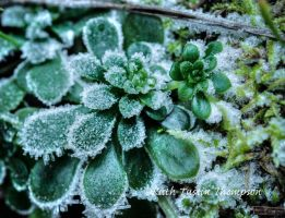 Frosted Succulent by kayaksailor