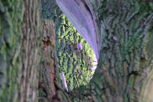 Nuthatch in Treehole by sabadahood