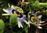 Passion Flower by Turtleraces