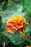cobweb and raindrops by Tiroko
