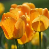 Organic Gold - Tulips by CecilyAndreuArtwork