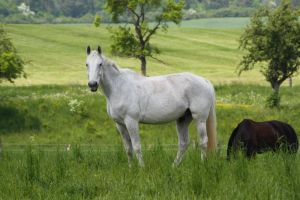 Horse Collection: White 6 by Germanstock