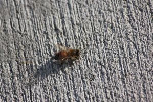 00119 - Bee on Lined Pavement from Above by emstock