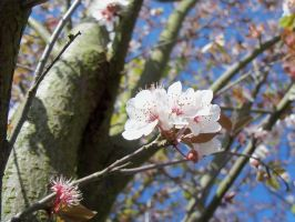 cherry plum blossom by Mecarion
